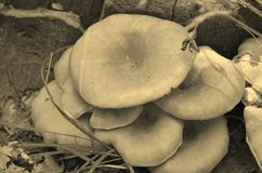 Pleurotusostreatus koopt Stock Foto