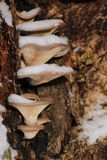 Pleurotusostreatus, ostronchampinjonen i vinter med snö Royaltyfri Fotografi