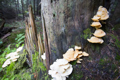 Pleurotusostreatuschampinjon på ett träd royaltyfri foto