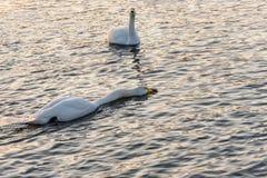 Pleuston d'oiseaux d'hiver de lac swan Photos libres de droits