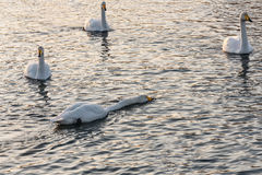 Pleuston d'oiseaux d'hiver de lac swan Images libres de droits