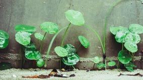 Pleuvoir la baisse sur l'usine asiatique de Pennywort photo libre de droits