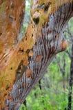Pleuvoir le fonctionnement en bas d'un tronc d'arbre coloré de gomme Photographie stock libre de droits