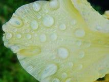 Pleuvoir les baisses de la rosée sur le pétale d'une fleur jaune Photo libre de droits