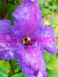 Pleuvoir les baisses de la rosée sur le pétale d'une fleur pourpre Photos libres de droits