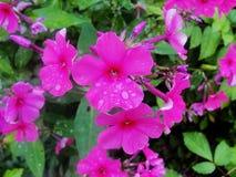 Pleuvoir les baisses de la rosée sur le pétale d'une fleur pourpre Image stock
