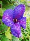 Pleuvoir les baisses de la rosée sur le pétale d'une fleur pourpre Photos stock