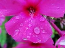 Pleuvoir les baisses de la rosée sur le pétale d'une fleur pourpre Images stock