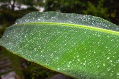 pleuvoir sur la feuille de banane Images stock