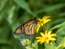 plexippus μοναρχών danaus πεταλούδων Στοκ φωτογραφία με δικαίωμα ελεύθερης χρήσης