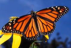 plexippus μοναρχών danaus πεταλούδων Στοκ Φωτογραφίες