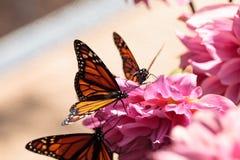 plexippus μοναρχών danaus πεταλούδων Στοκ εικόνες με δικαίωμα ελεύθερης χρήσης