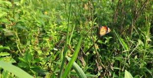 plexippus μοναρχών danaus πεταλούδων Στοκ Εικόνα