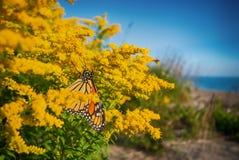 Plexippus Даная бабочки монарха в парке Rondeau захолустном, Стоковые Изображения RF