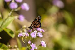Plexippus Даная бабочки монарха на фиолетовом цветке Стоковые Фото