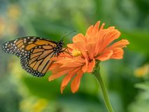plexippus монарха danaus бабочки Стоковое Изображение RF