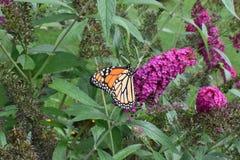 Plexippus Danaus πεταλούδων μοναρχών που τρώει στην πεταλούδα Μπους Στοκ εικόνα με δικαίωμα ελεύθερης χρήσης