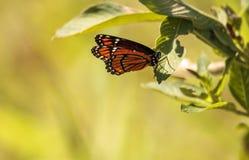 Plexippus Danaus πεταλούδων μοναρχών σε ένα ζιζάνιο γάλακτος Στοκ Φωτογραφίες
