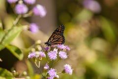 Plexippus Danaus πεταλούδων μοναρχών σε ένα πορφυρό λουλούδι Στοκ Φωτογραφίες