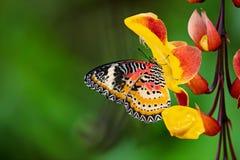 Plexippus Danaus πεταλούδων μοναρχών στο mysorensis thunbergia Στοκ Εικόνα