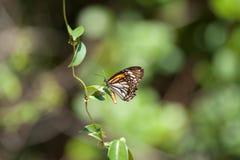 Plexippus Danaus πεταλούδων μοναρχών με το φυσικό πράσινο υπόβαθρο Στοκ φωτογραφία με δικαίωμα ελεύθερης χρήσης