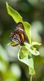 Plexippus Danaus πεταλούδων μοναρχών με το φυσικό πράσινο υπόβαθρο Στοκ Φωτογραφίες