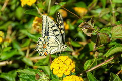 Plexippus de Danaus de guindineau de monarque Photos libres de droits