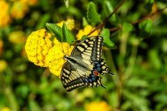 Plexippus de Danaus de guindineau de monarque Photos stock