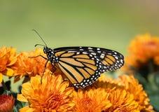 Plexippus del Danaus de la mariposa de monarca en las flores del otoño Foto de archivo libre de regalías