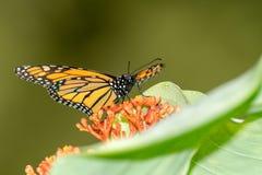 Plexippus del Danaus della farfalla di monarca fotografia stock libera da diritti