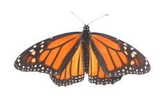Plexippus för danaus för fjäril för kvinnlig monark på vit arkivbilder