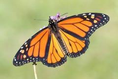 Plexippus för danaus för fjäril för manlig monark arkivbild