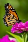 plexippus för fjärilsdanausmonark royaltyfria foton