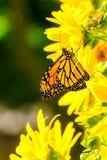 Plexippus för Moanrch fjärilsDanaus på ljus gulingträdgårdflo arkivfoto