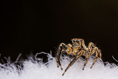 Plexippus Petersi spider Royalty Free Stock Photography