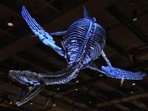 Plezjozaura Dolichodeirus kościec na pokazie Zdjęcie Royalty Free