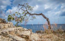 Plié au-dessus de l'arbre balayé par le vent - vues du Curaçao photos libres de droits