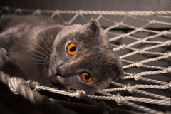 Pli Cat Small Ears Orange Eyes d'écossais Image stock