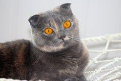 Pli Cat Small Ears Orange Eyes d'écossais Images libres de droits