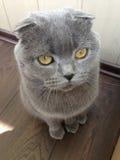 Pli d'écossais de chat Photo libre de droits