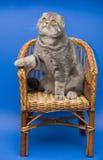 Pli d'écossais de chat images libres de droits