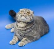 Pli d'écossais de chat Photographie stock