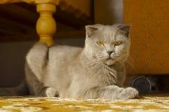 Pli des Anglais de race de chat Photo stock