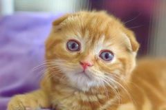 Pli rouge mignon d'écossais de chaton photos libres de droits