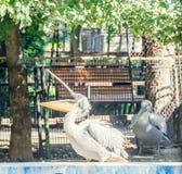 Pélican blanc au jardin de zoo, l'eau, fin  Photos libres de droits