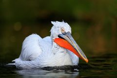 Pélican blanc, erythrorhynchos de Pelecanus, oiseau dans l'eau foncée, habitat de nature, Bulgarie Images stock