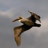 Pélican de Brown en vol en Floride Photographie stock libre de droits