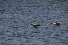 Pélican de Brown (occidentalis de pelecanus) Photographie stock