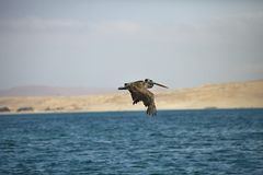 Pélican de Brown, occidentalis de Pelecanus, Paracas - Pérou Images stock