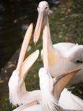 Pélican deux se tenant avec le bec ouvert Photographie stock